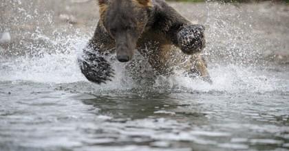L'ours pêche le saumon