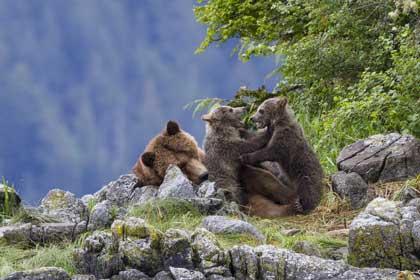 Grizzly, Sky et ses deux oursons, Amber et Scout