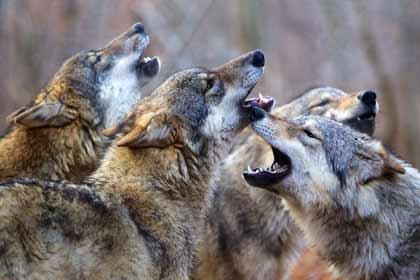 Les saisons - une meute de loups