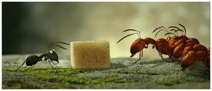 Un sucre et une guerre entre fourmis noires et rouges