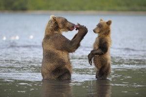 Ours dévorant un saumon