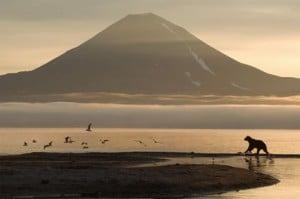 Un ours seul au Kamtchatka