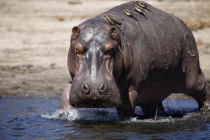 Un hippopotame et ses parasites