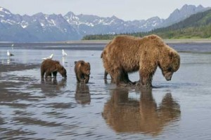 Grizzly, Sky et ses deux oursons en quête de nourriture
