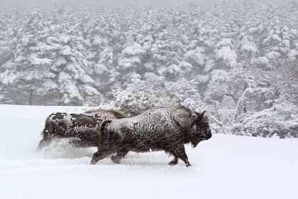 Des bisons dans la neige - Les saisons