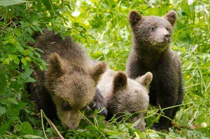 Les saisons - de jeunes oursons